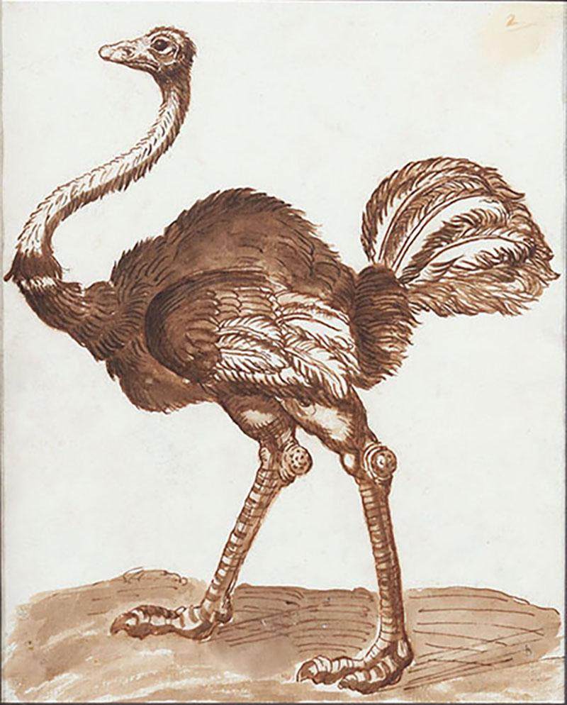 A 17th century drawing of an ostrich