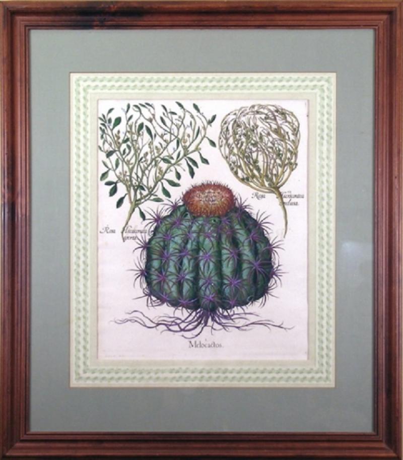 Basilius Besler Basilius Besler Melocactos Melocactus Cactus 1713