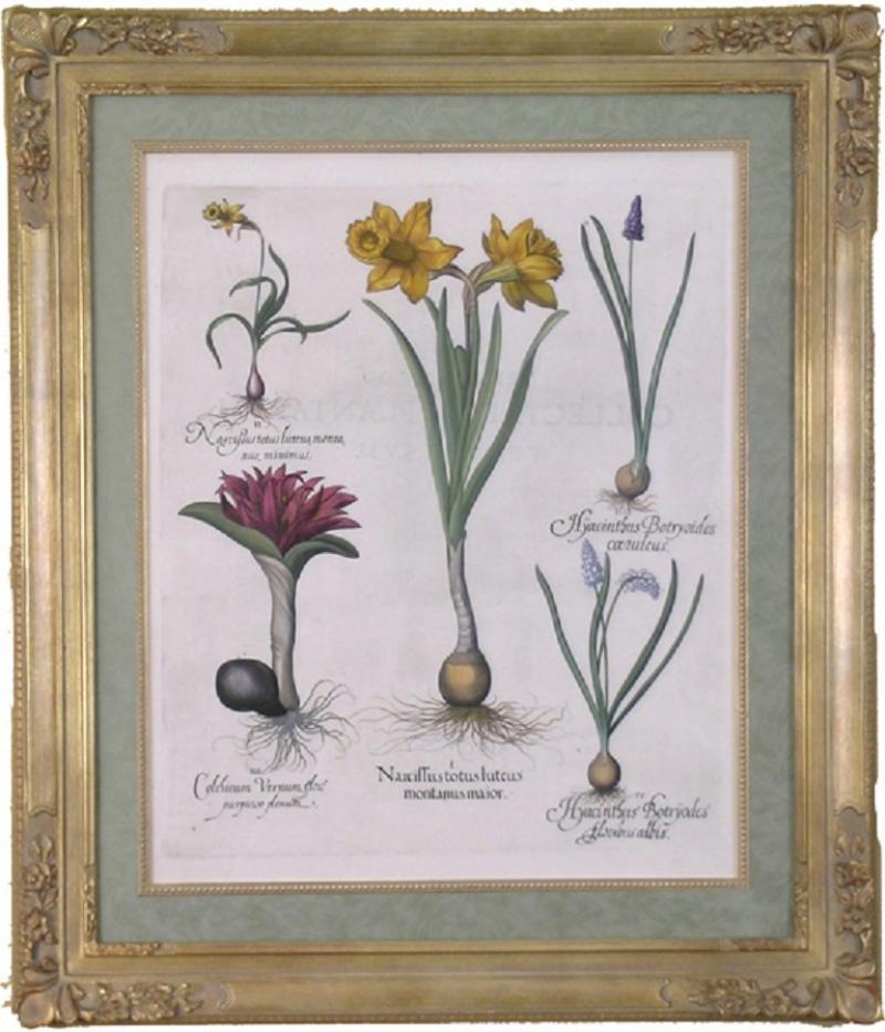 Basilius Besler Basilius Besler Narcissus totos luteus Daffodil 1613