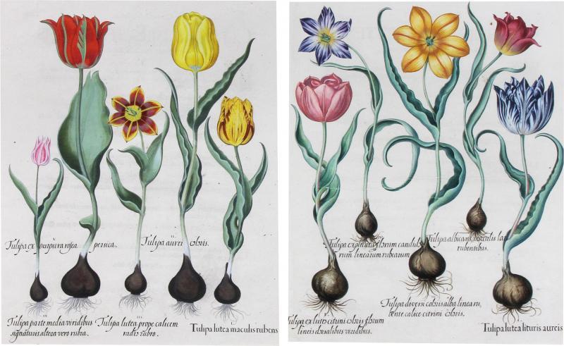 Basilius Besler Framed Hand Colored Engravings of Tulips by Basilius Besler a Pair
