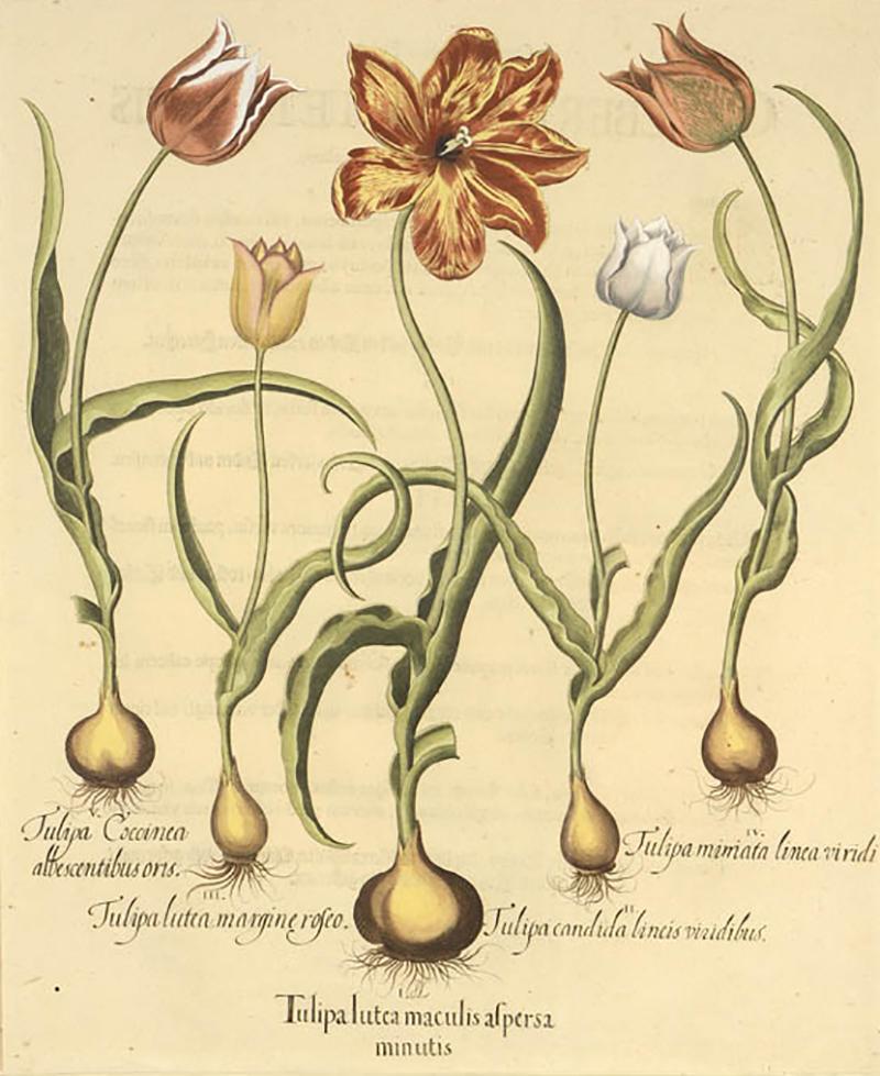 Basilius Besler Pair of Hand coloured Tulips