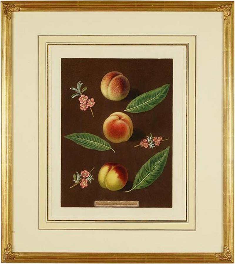 George Brookshaw Engravings of Peaches Plate XXXVI Pomona Britannica