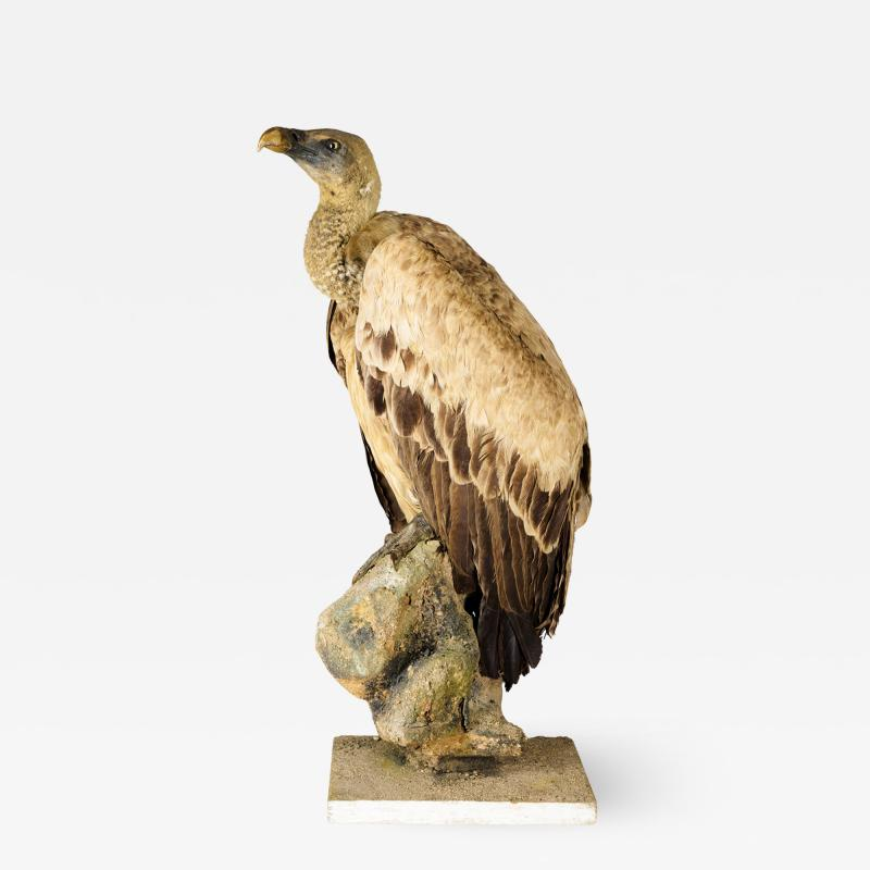 Griffon Vulture Gyps fulvus II A on Antique White Museum Stand