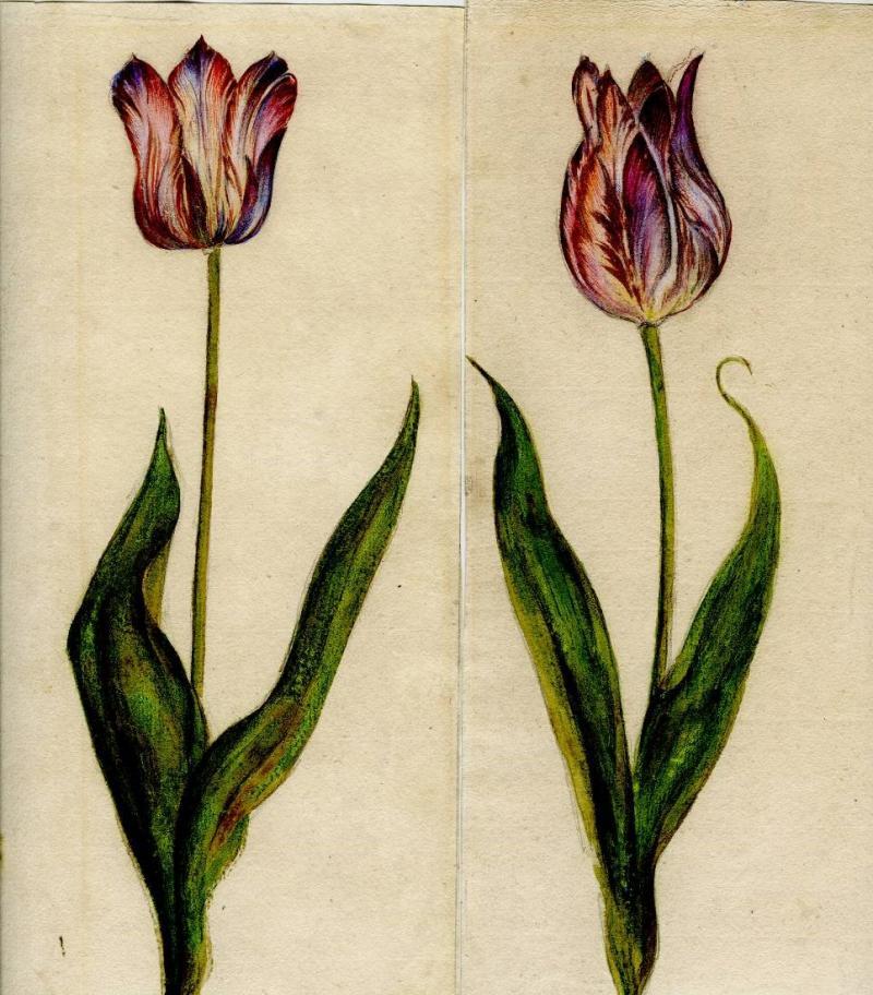 Jacob Marrel A Pair of Semper Agustus Tulips