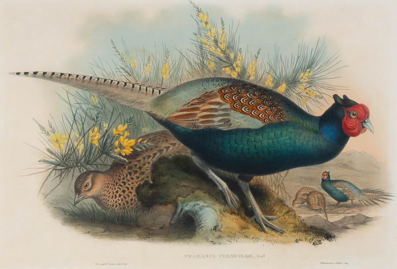 John Gould Phasianus Versicolor Vieill