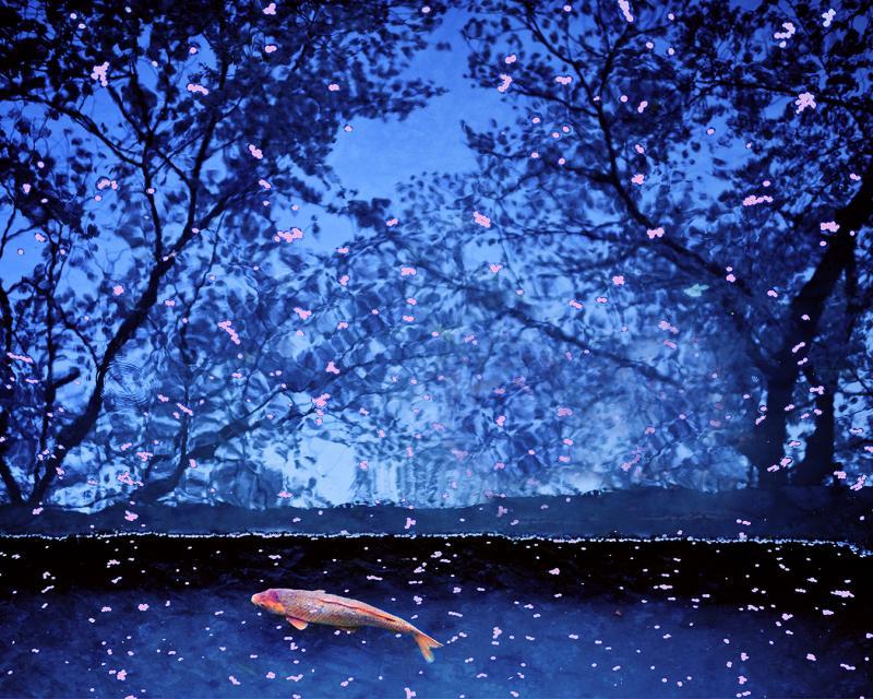Koy Fish and sakura petals