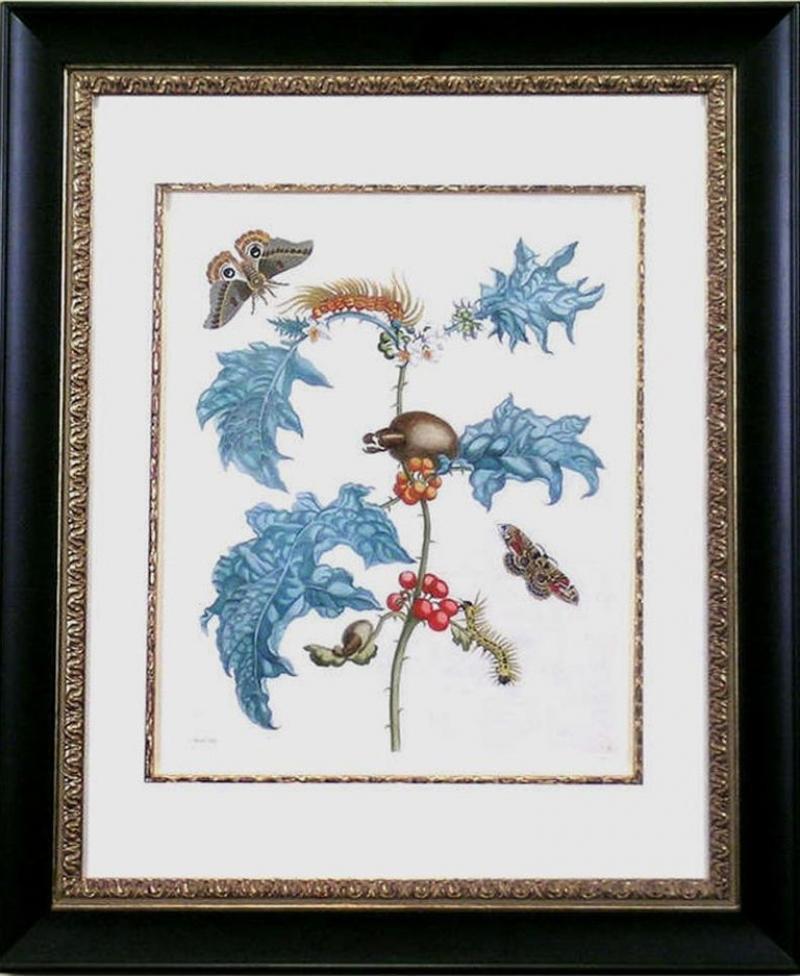 Maria Sibylla Merian Moths with Pupa on Holly