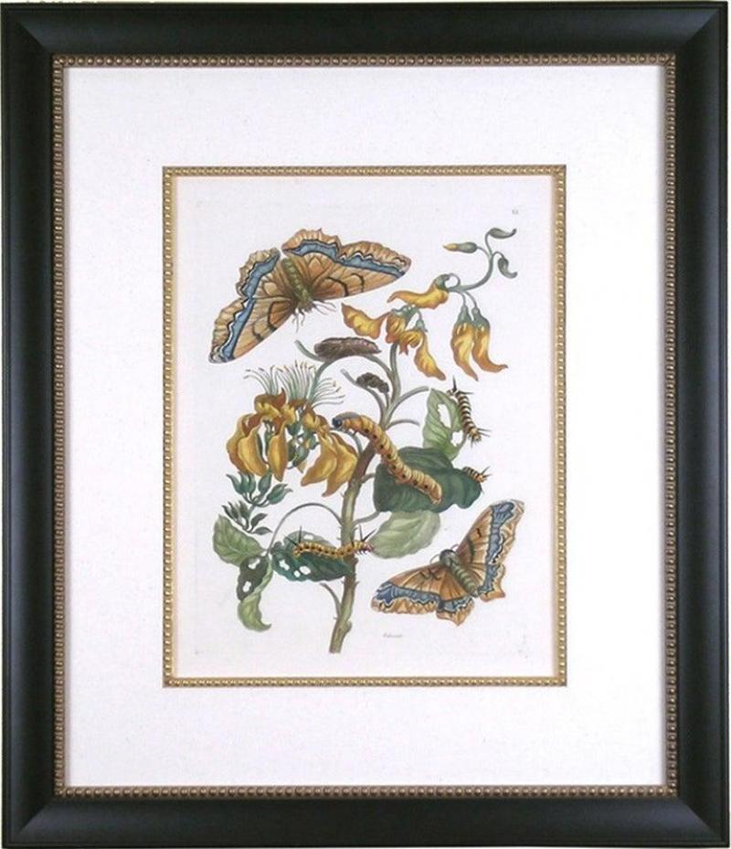 Maria Sibylla Merian Plate IX Palissade Butterfly
