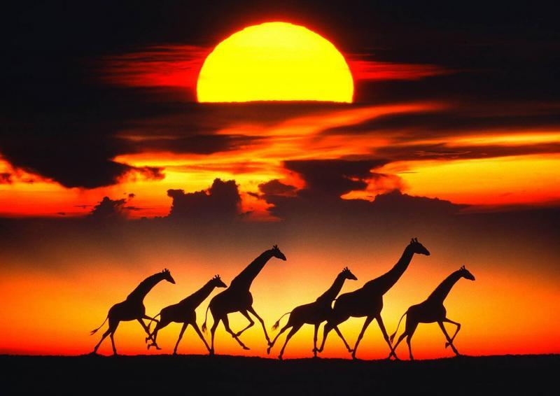 Mitchell Funk Giraffes at Sunset
