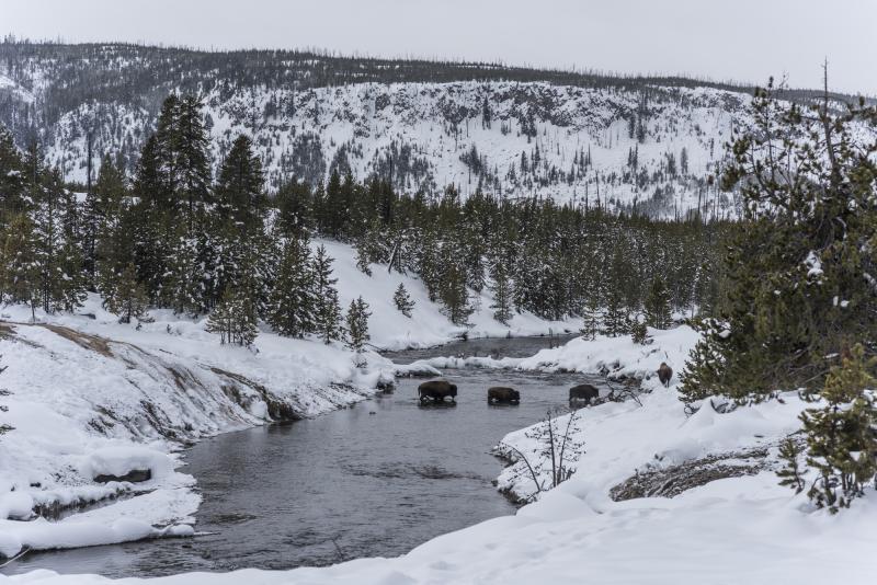 Peter Vanderwarker Bison Crossing Firehole River