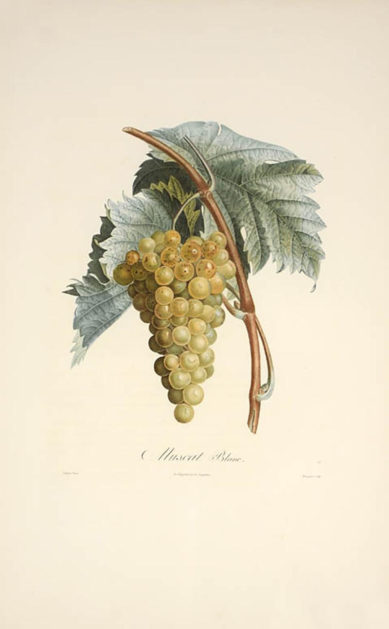 Pierre Antoine Poiteau Trait des arbres fruitiers A Set of Four Grapes