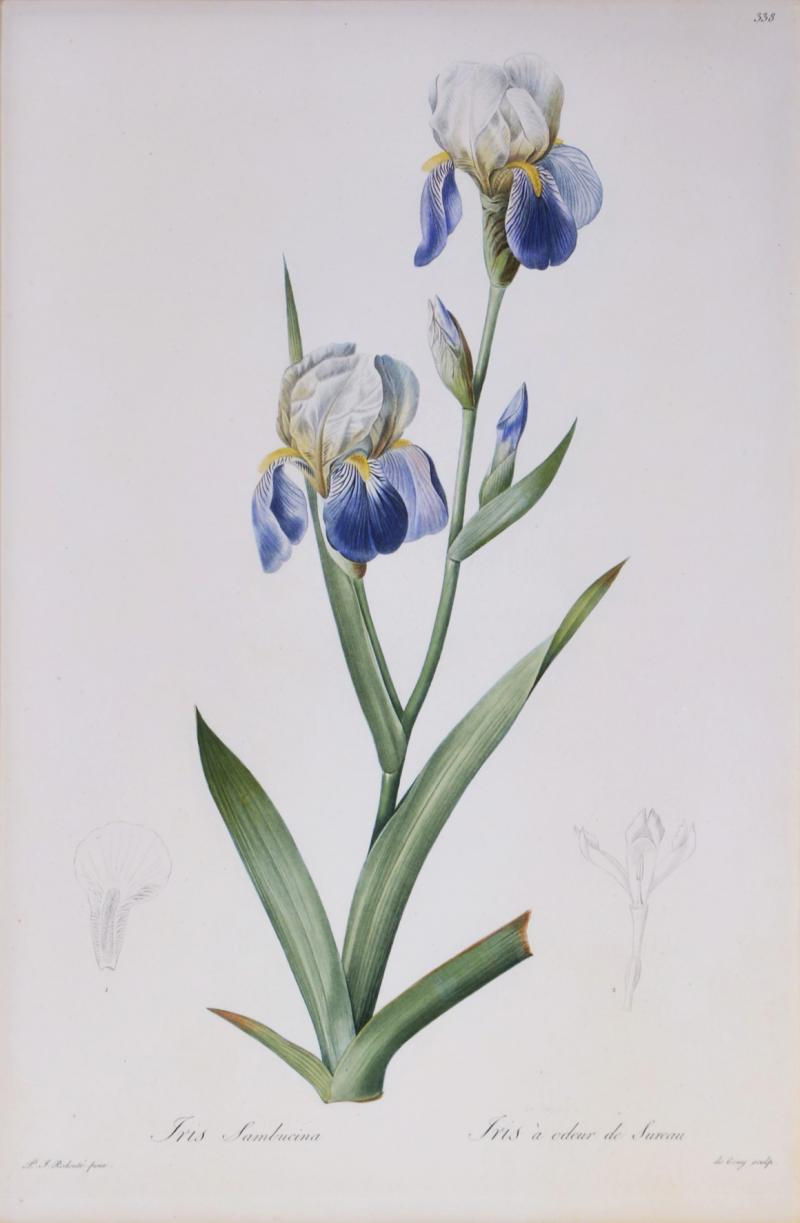 Pierre Joseph Redoute Redoute Set of Twelve Irises stipple engraved and finished by hands
