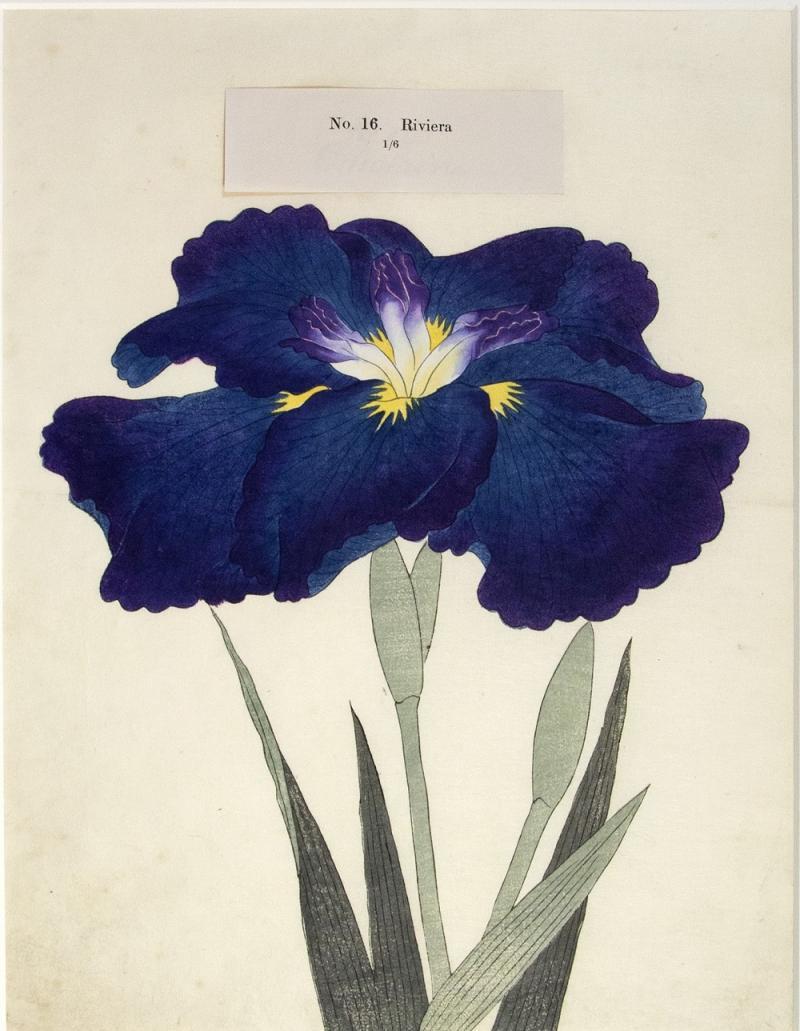 Riviera Japanese Iris