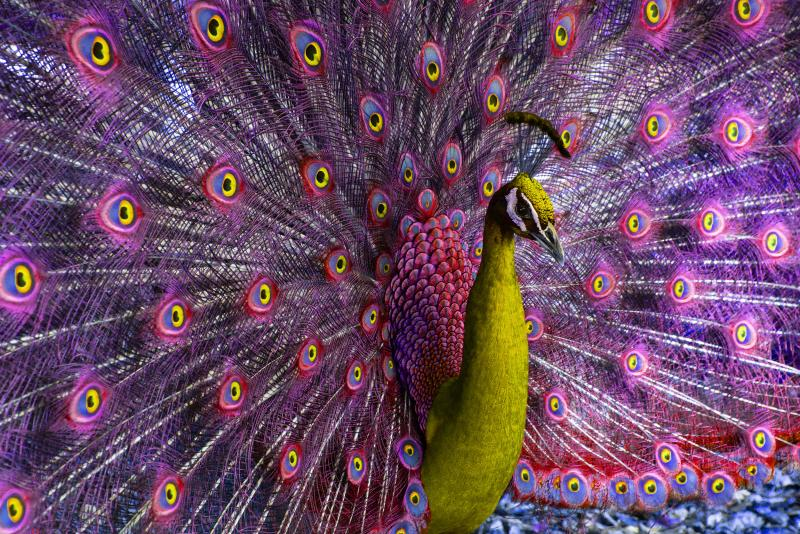 Robert Funk Peacock displaying in Magenta and Yellow