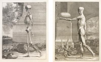 Albinus Albinus Pair of Anatomical Studies engravings