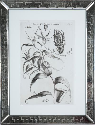 Jan Caspar Commelin Jan Caspar Commelin 17th century botanical engravings