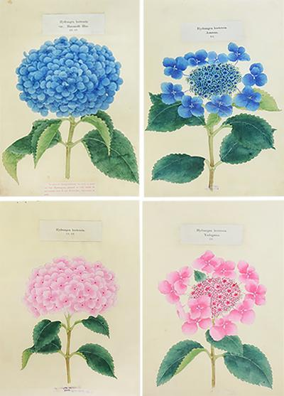 Yokohama Nursery Co Ltd Four lithographs of Hydrangeas
