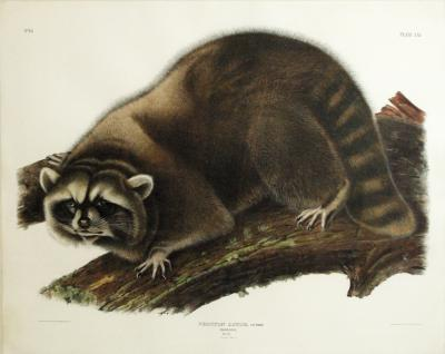 John James Audubon Raccoon Plate LXI
