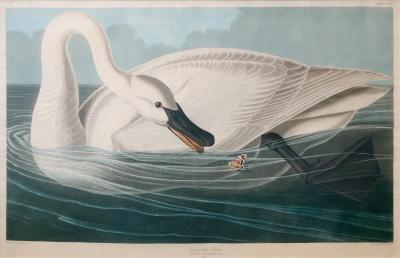 John James Audubon Pl CCCCVI Trumpeter Swan
