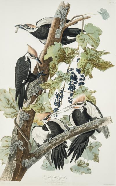 John James Audubon Pileated Woodpecker c 1834