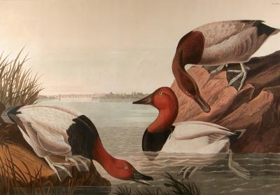 John James Audubon Canvas backed Duck with view of Baltimore