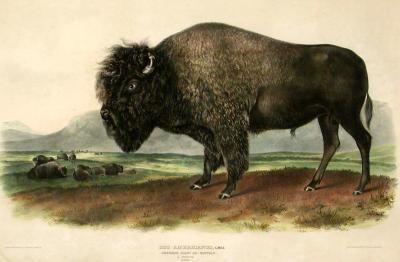 John James Audubon American Bison