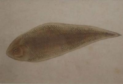 18th C Chinese Export Pen and Ink Drawing of a Flounder