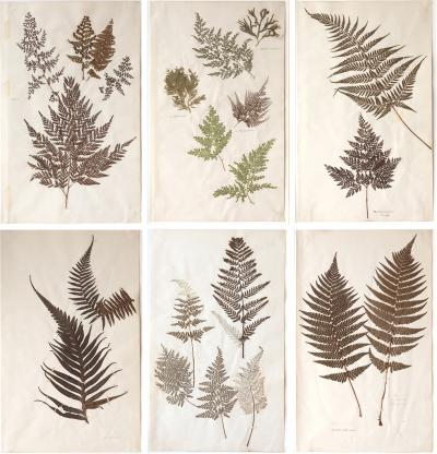 A SET OF SIX 19TH CENTURY PRESSED FERNS