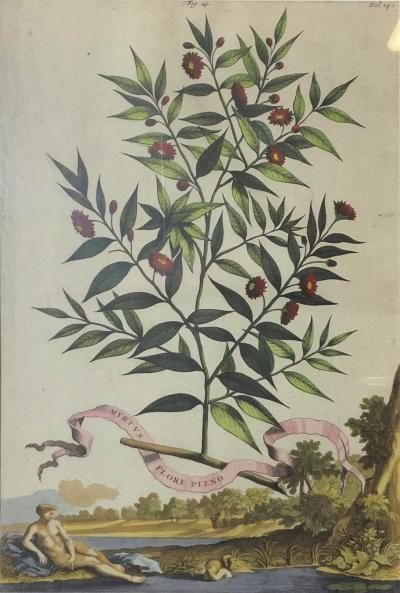 Abraham Munting Antique Abraham Munting 1696 Hand Colored Botanical Print in Trobridge Frame