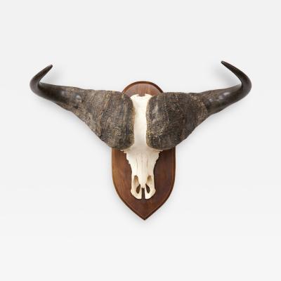 African Cape Buffalo Skull