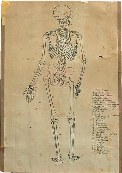 Anatomical Medical Drawing