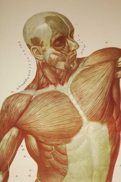 Anatomical Poster