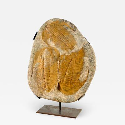 Ancient Exceptionally Large Fossil of Trilobites on Custom Stand