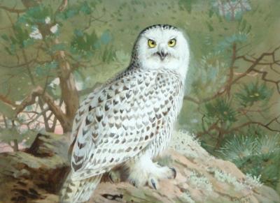 Archibald Thorburn Snowy Owl