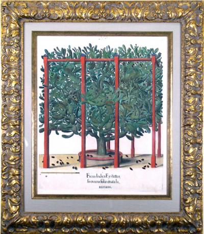 Basilius Besler Basilius Besler Ficus Indica Prickly Pear Cactus 1640