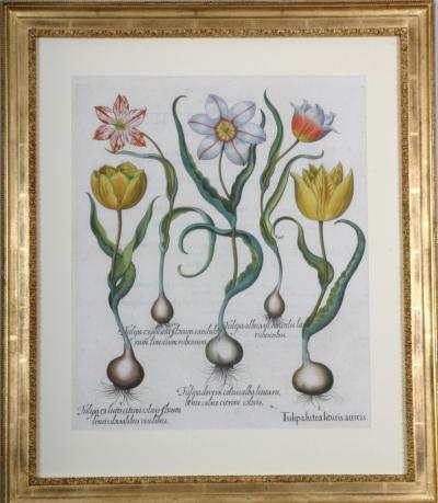 Basilius Besler Basilius Besler Hortus Eystettensis c1613