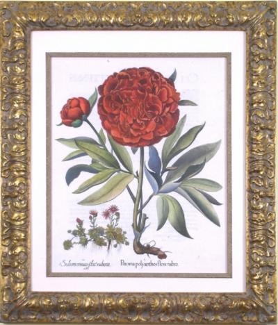 Basilius Besler Basilius Besler Paeonia polyanthos flore rubro Peony 1713