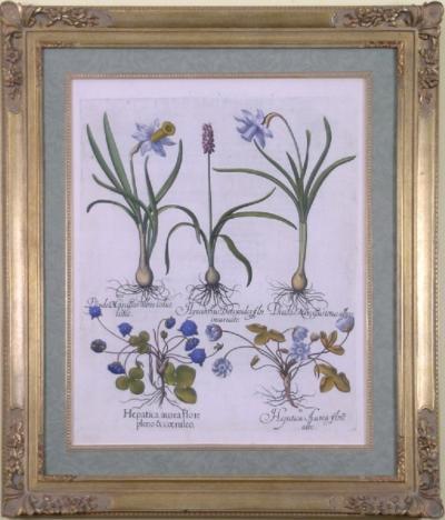 Basilius Besler Basilius Besler Pseudo Narcissus Daffodil Buttercups 1613