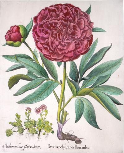 Basilius Besler Basilius Besler a set of Hand coloured Peonies copper engraved plates 1640