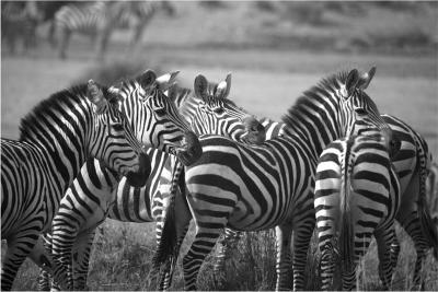 Carolyn Ann Schroeder Herd black and white photograph by Carolyn Schroeder