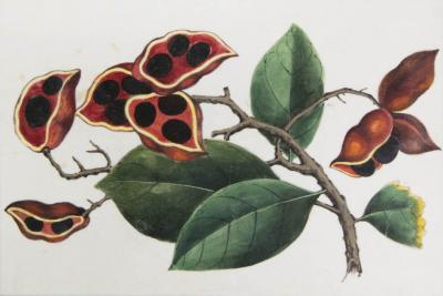 Chinese School Group of Eight Exotic Fruits on Pith Paper