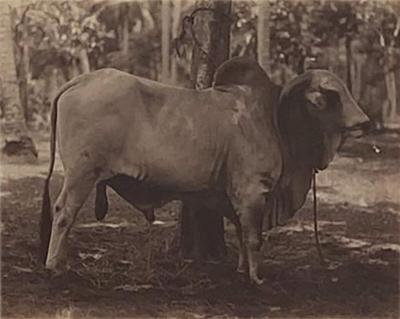 Circa 19th Century Photograph of a Brahma Bull India