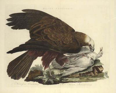 Cornelius Nozeman Double page Bird of Prey MILVI RUGINOSUS from Nederlandsche Vogelen