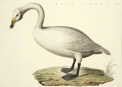 Cornelius Nozeman Pair of Swans