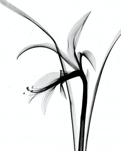 Dr M F Agha Flower X Ray Fuchsia