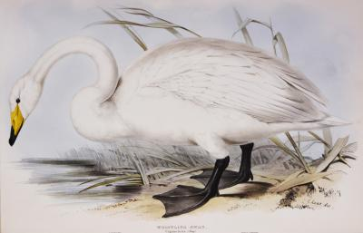 Edward Lear Edward Lear Set of Three Swans Whistling Swan Berwick s Swan Domestic Swan