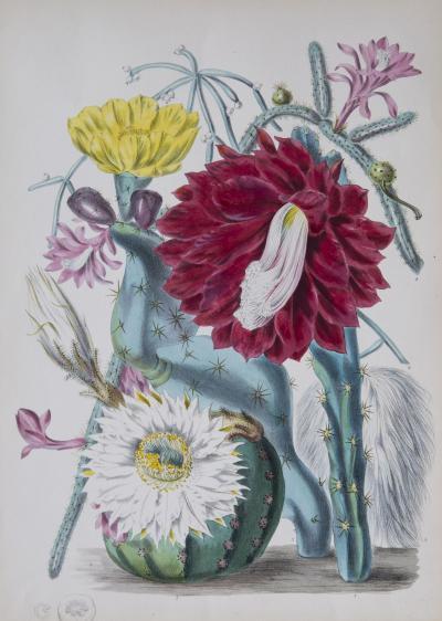 Elizabeth Twining Fine Botanical Print Elizabeth Twining Cactaceae 1849
