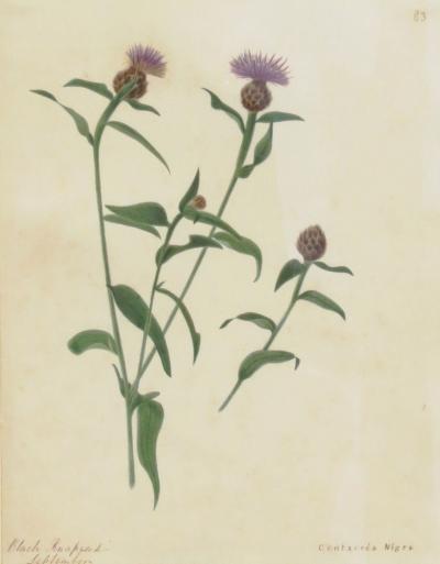 Emily Stackhouse Black Knapweed Centaurea Nigra
