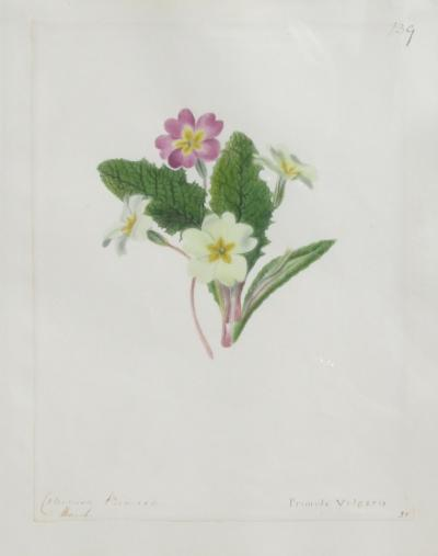 Emily Stackhouse Common Primrose Primula Vulgaris