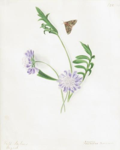 Emily Stackhouse Field Scabious Knautia Arvensis